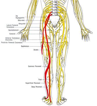 sciatic nerve archives - phoenix mountain chiropractic life center, Human Body